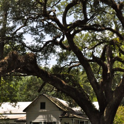 live oak over traditional house